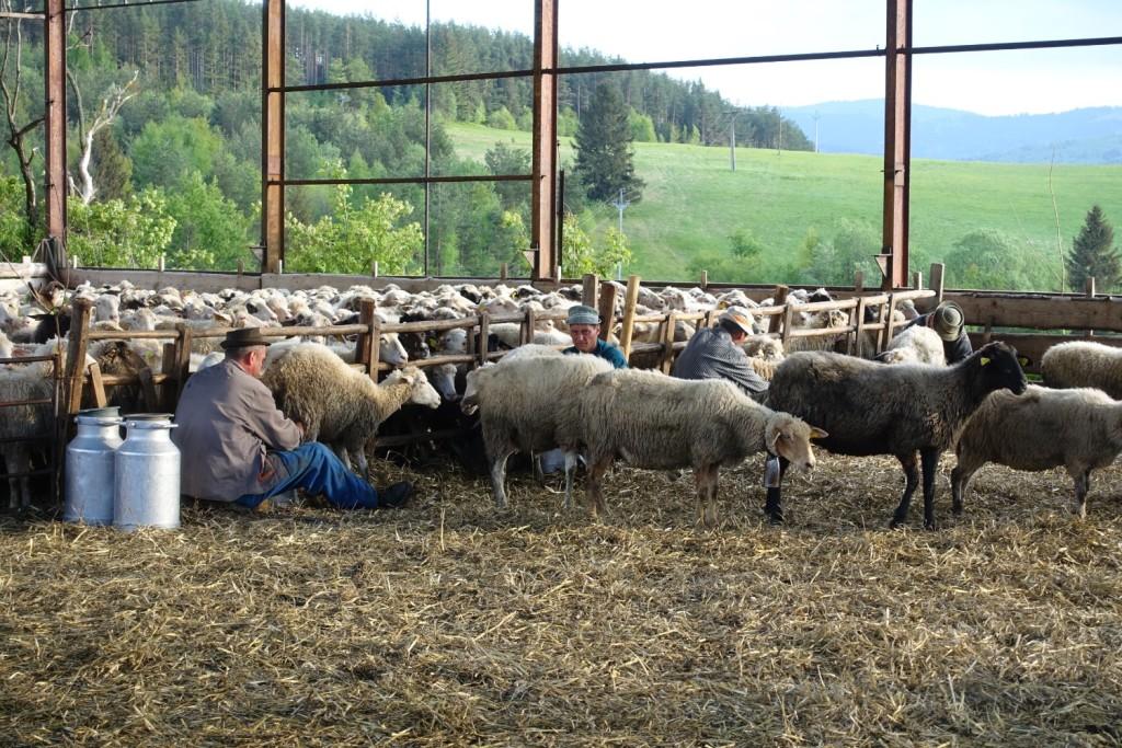 angeblich müssen mehrmals täglich rund 400 Schafe händisch gemolken werden - von nur 4 Männern!