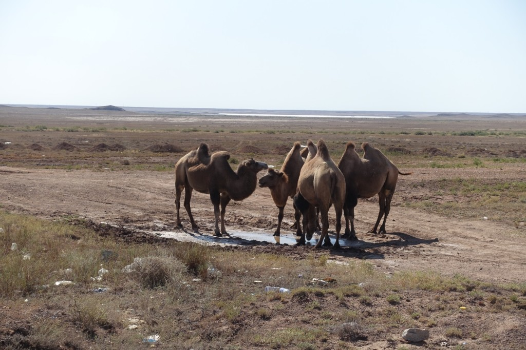 die Kamel-Gang