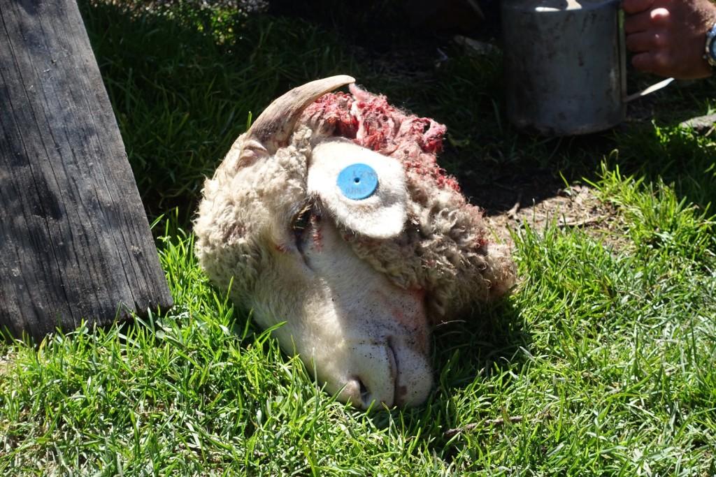 glücklich schaut das Schaf nicht drein