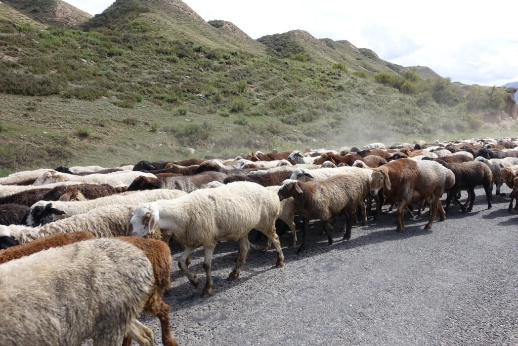 ein Schaf ist im Weg, ein Schaf ist im Weg