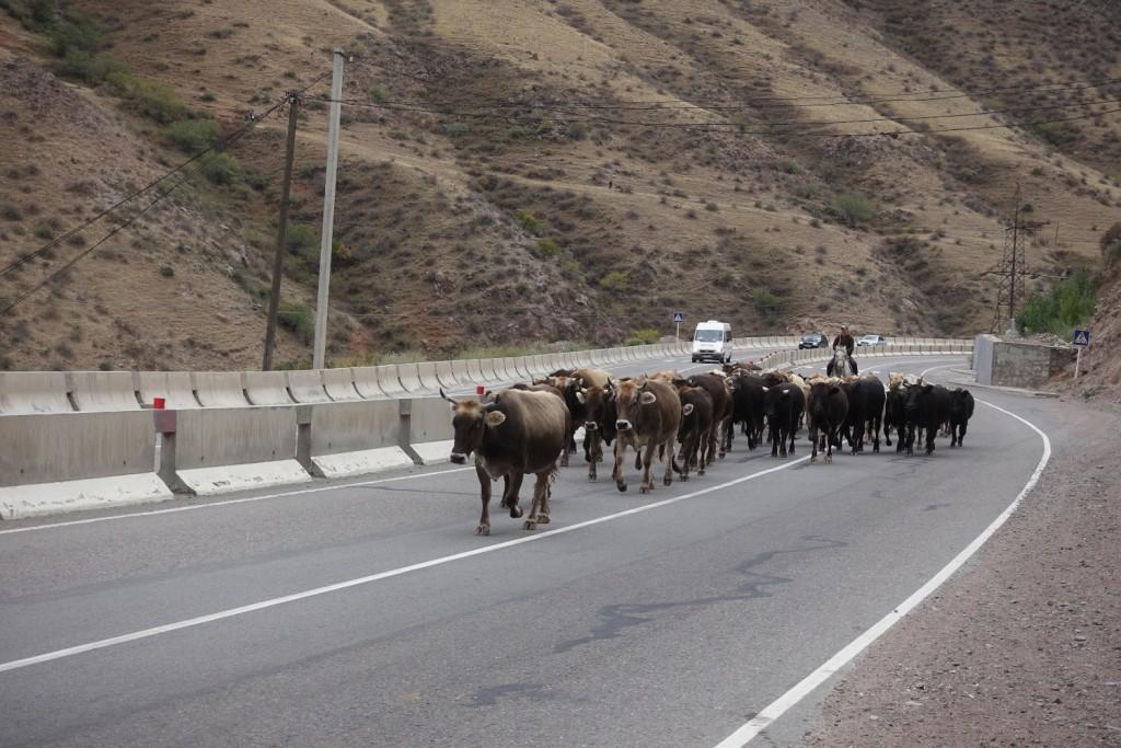 """eine Kuhherde wird mitten über die """"Autobahn"""" geführt"""