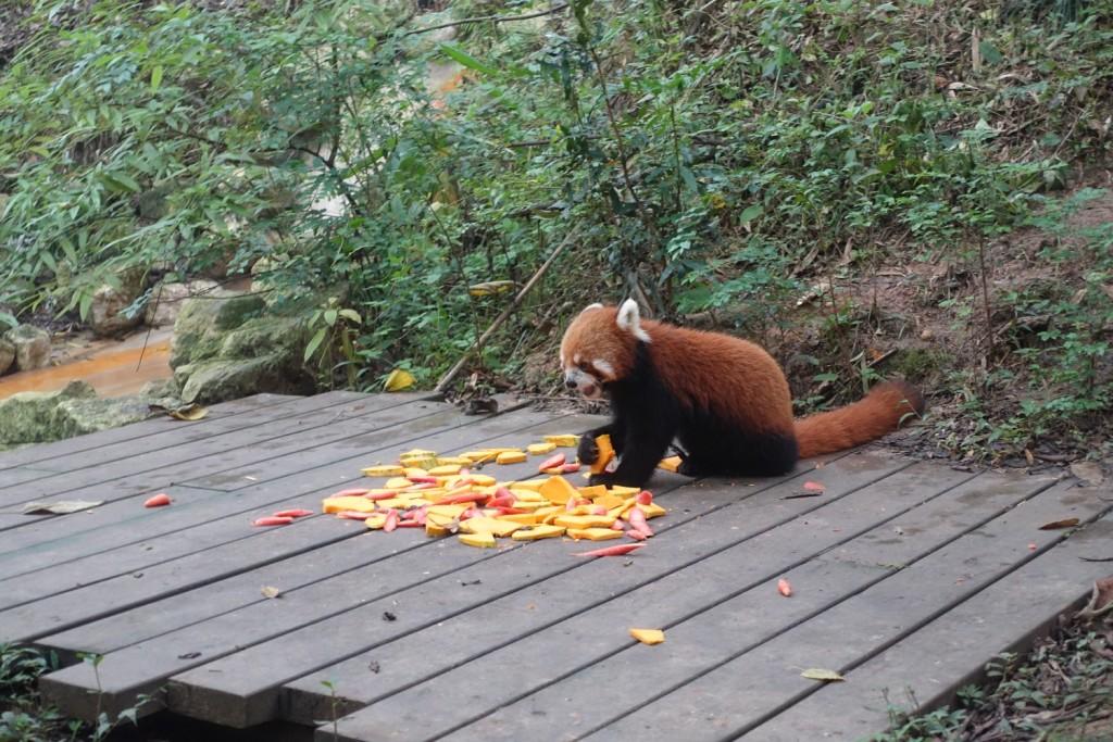 ein paar rote Pandas gab es auch