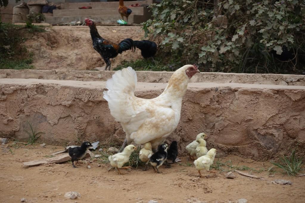 hier sieht man extrem viele Hühner mit ihren Kleinen