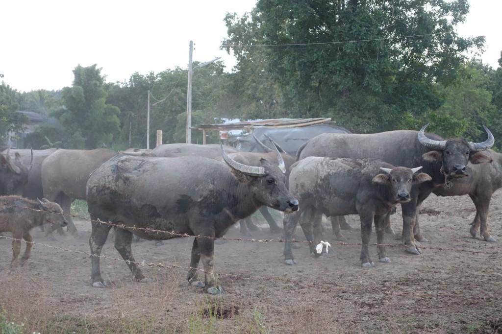 Büffelinos :-)